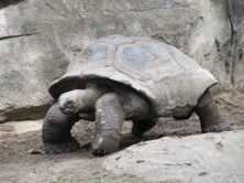 black tortoise standing